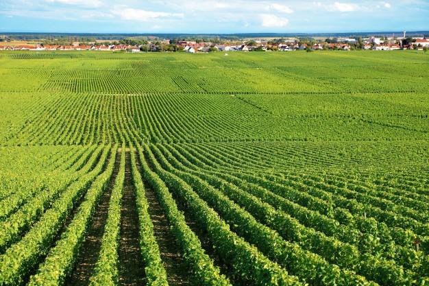 diferencia entre vino Manzanilla y Fino